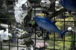 Hering blau